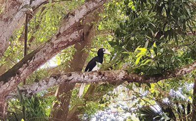 oriental pied hornbills
